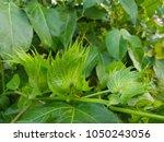 close up green cotton flower... | Shutterstock . vector #1050243056