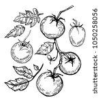 tomato. hand drawn illustration ... | Shutterstock .eps vector #1050258056