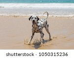 Happy Dalmatian Dog On The...