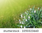 white snowdrop flowers isolated ... | Shutterstock . vector #1050323660