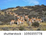 guanacos in monte le n national ... | Shutterstock . vector #1050355778