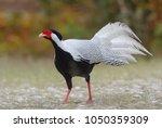 Silver Pheasant   Lophura...