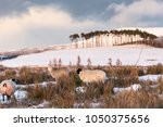 sheep on the braes of abernethy ... | Shutterstock . vector #1050375656