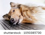 photo of collie dog lay down... | Shutterstock . vector #1050385730