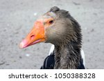 Curious Goose Looks At The...
