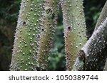 thorny  green ceiba tree | Shutterstock . vector #1050389744