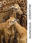 Stock photo baby giraffe 105045740