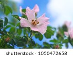 dogrose flower and water drops. ...   Shutterstock . vector #1050472658