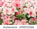 Flowers Azalea On A Bush In The ...