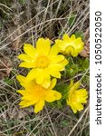 Small photo of Wild blossomed adonis vernalis on meadow closeup