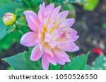 Background Nature Flower Dahli...
