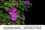 pink purple morning glory... | Shutterstock . vector #1050527924