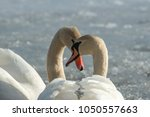 A Pair Of Swans In Love On A...
