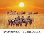 group of african zebras at... | Shutterstock . vector #1050600116