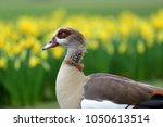 portrait of an egyptian goose ... | Shutterstock . vector #1050613514
