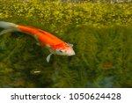 the fish are vertebrate ... | Shutterstock . vector #1050624428