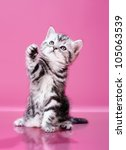 Stock photo fluffy gray beautiful kitten breed scottish straight play upright on pink background 105063539