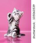Stock photo fluffy gray beautiful kitten breed scottish straight play upright on pink background 105063539