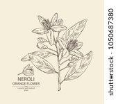 neroli  orange flower  orange... | Shutterstock .eps vector #1050687380