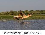pelicans taking off in danube... | Shutterstock . vector #1050691970