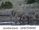 a family of elephants in kruger ... | Shutterstock . vector #1050705890