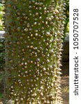 close up view ceiba speciosa ... | Shutterstock . vector #1050707528