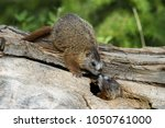 two baby yellow bellied marmots ... | Shutterstock . vector #1050761000
