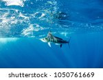 striped marlin off the mexican... | Shutterstock . vector #1050761669