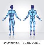 human muscles anatomy model... | Shutterstock .eps vector #1050770018