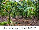 Beautiful Cocoa Farm