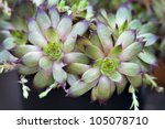 two sempervivum rosettes from a succulent plant - stock photo