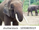 the borneo elephant  also... | Shutterstock . vector #1050805019