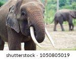 the borneo elephant  also... | Shutterstock . vector #1050805019