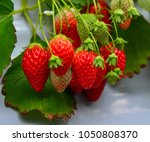 strawberries grow in batches at ... | Shutterstock . vector #1050808370
