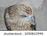 Small photo of Brahminy kite, Red-backed sea-eagle, Haliastur indus, Accipitriformes.