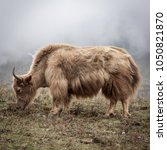 Small photo of Yak in himalayan mountains. Nepal. Yak in misty wild environment.