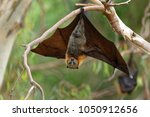 the grey headed flying fox... | Shutterstock . vector #1050912656