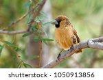 the sociable weaver ... | Shutterstock . vector #1050913856