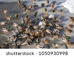 a lot of wild ducks and drake... | Shutterstock . vector #1050930998