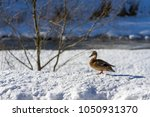 one wild duck stand on white... | Shutterstock . vector #1050931370