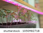 Small photo of Light agro LED tape helps grow tomato seedlings at home / active growth of young shoots