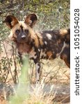 Small photo of A portrait of a african wild dog