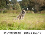 the caucasian sheep dog on a... | Shutterstock . vector #1051116149