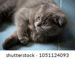alis kitten resting on the floor | Shutterstock . vector #1051124093