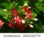 Quisqualis Indica Linn.,It has a bouquet and aroma.The bouquet is at the top of the tree.The flower is a very long tube,about 3-4 inches long at the end,split into 5 petals pink or reddish white.