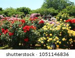 Stock photo keisei rose garden in yachiyo city chiba 1051146836
