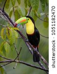 keel billed toucan   ramphastos ... | Shutterstock . vector #1051182470