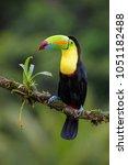 keel billed toucan   ramphastos ...   Shutterstock . vector #1051182488