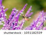 allen's hummingbird ...   Shutterstock . vector #1051182539