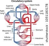 diagram of human circulatory... | Shutterstock .eps vector #1051183178